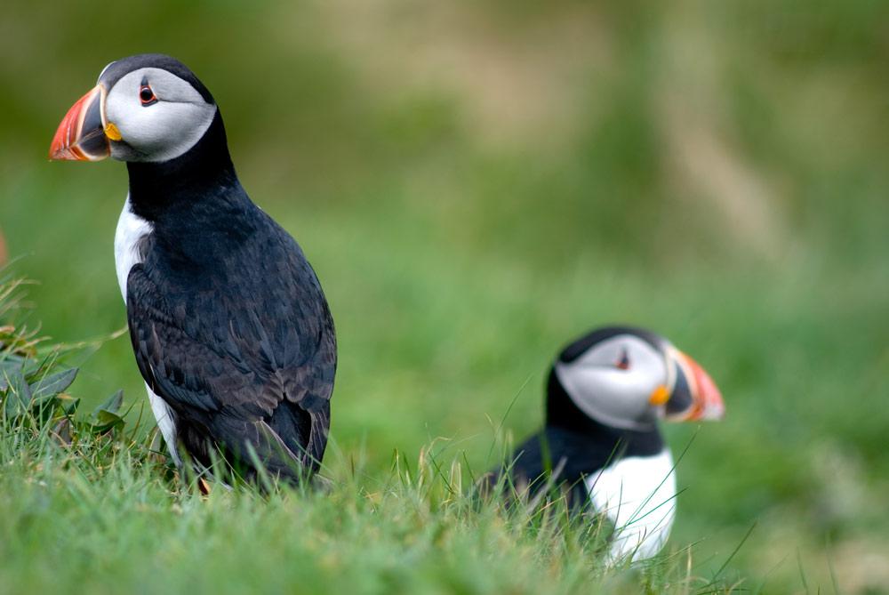 Skomer Island Pembrokeshire